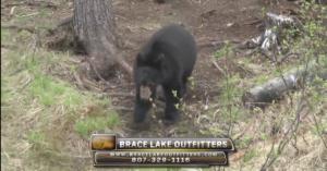 Ontario Bear
